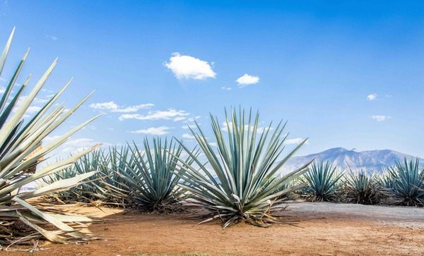 Dachser Mexico ensures tequila supply chains remain fluid for National Tequila Day